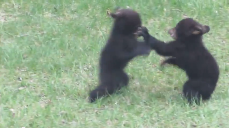 2014-05-27 10_56_52-Bear Battle Royale - YouTube
